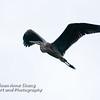 Juvenile Great Blue Heron in Flight - 1