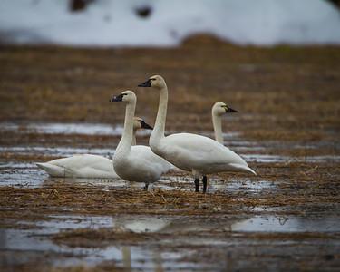 Tundra Swans 193 Usk, Washington
