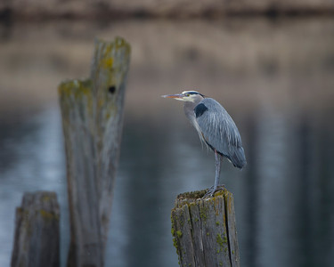 Lone Blue Heron on the Pend Oreille River