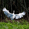 Surrendering Snowy Egret