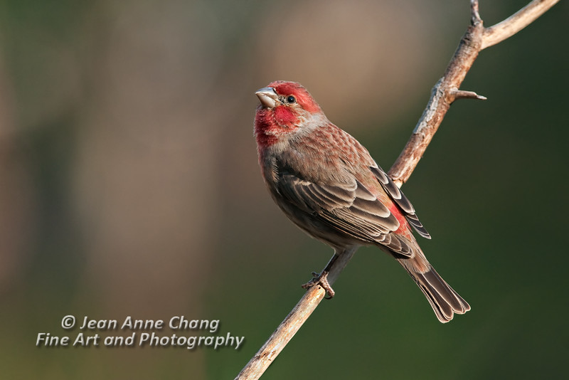 Male House Finch on Branch - 2