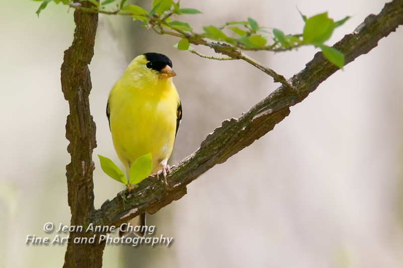 Male American Goldfinch on Branch