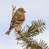 American Goldfinch on Fir Branch