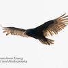 Turkey Vulture in Flight - 2