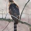 Cooper's Hawk Looking Back Over Shoulder
