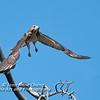 Immature Red Tailed Hawk Taking Flight