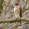 Cooper's Hawk Perched in Tree