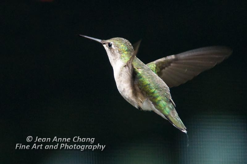 Ruby-throated hummingbird (Female