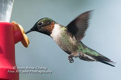 Ruby Throated Hummingbird (Male) at Feeder