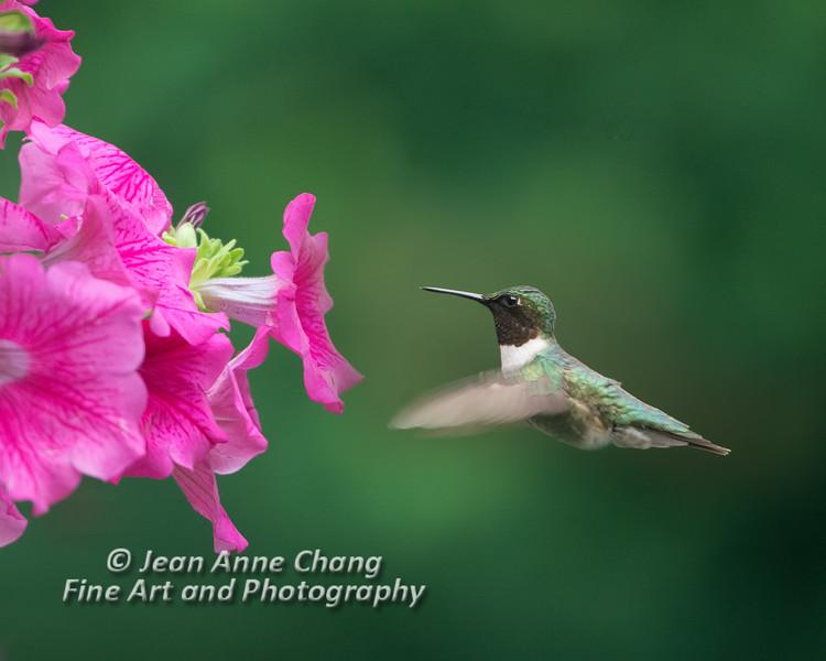 Ruby-Throated Hummingbird (Male) with Petunias