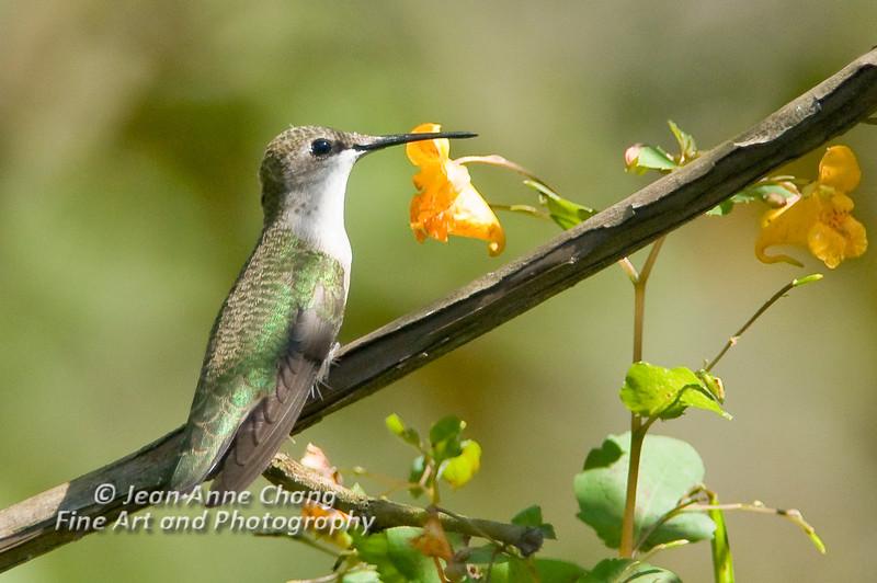 Ruby Throated Hummingbird - Female