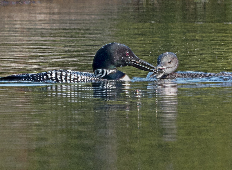Common Loon & Chick