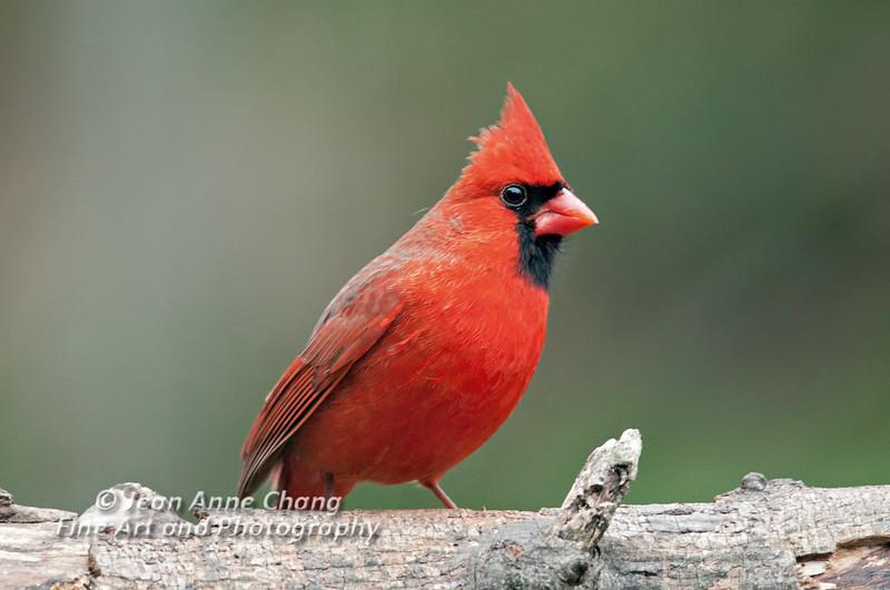 Northern Cardinal (Male) on Log