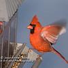 Male northern cardinal landing on feeder