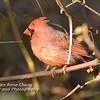 Northern Cardinal - Male - in Natural Habitat