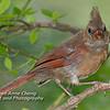 Northern Cardinal (Juvenile)