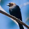 Brown-Headed Cowbird (Male) on Overhead Branch