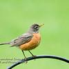 American Robin - Juvenile