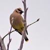 Cedar Waxwing on Overhead Branch