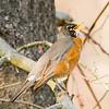 American Robin Singing on Branch