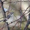 Northern Mockingbird on Branch in Winter