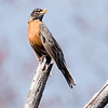 American Robin Perched on Dead Tree Branch