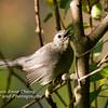 Young Gray Catbird Calling