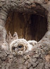 barred Owl (chick)