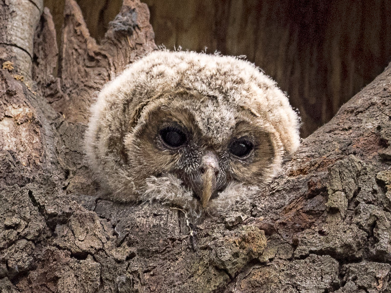 Barred Owl Chick