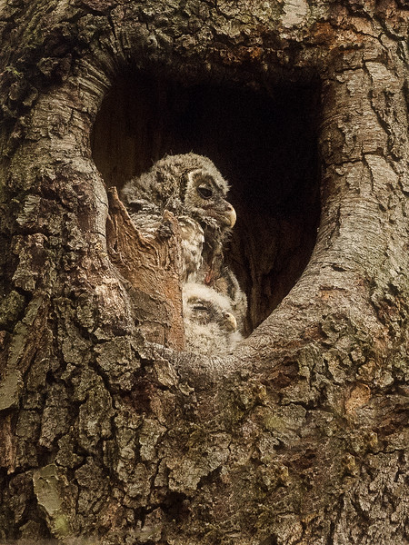 Barred Owl & Chick
