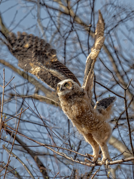 Great Horned Owl (owlet)