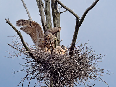 Great Horned Owl & Chick