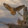 Great Horned Owlets w/ Mom