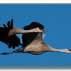 Flying Sandhill Cranes