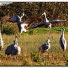 Dancing & Jumping Sandhill Cranes