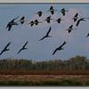 Lodi Sandhill Cranes