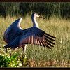 Dancing Lodi Sandhill Crane