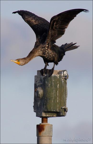 Cormorant doing aerobics