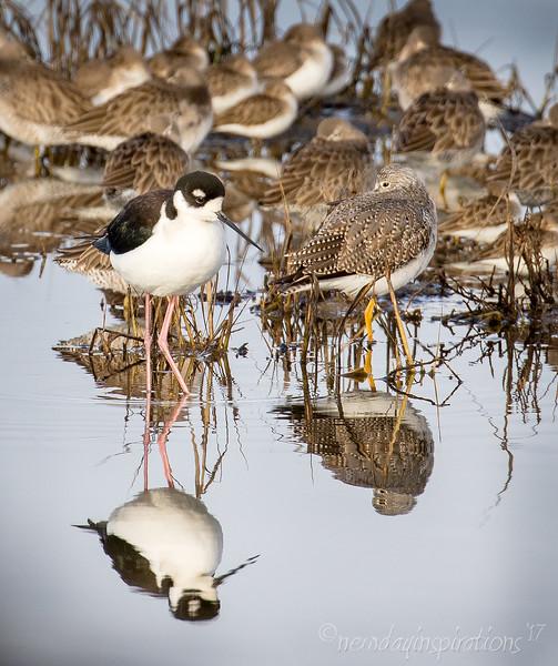 Palo Alto Baylands, shore birds, black necked stilt, american avocet, least sandpiper