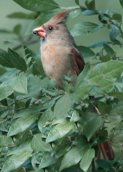 Northern Cardinal & Tufted Titmouse