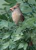 Northern Cardinal & Tufted Titmouse