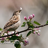 Female House Sparrow in Apple Blossoms