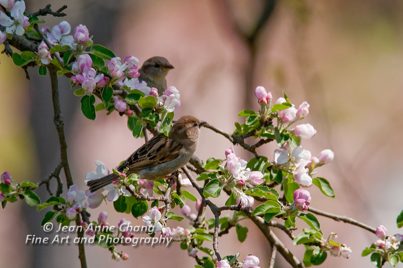 House Sparrows in Apple Blossoms