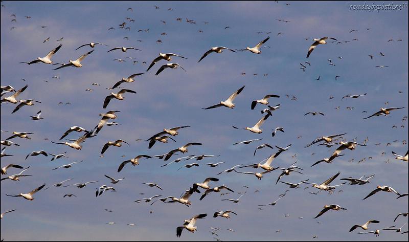 Snow Geese near Sacramento National Wildlife Refuge