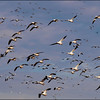 Snow Geese near Sacramento National Wildlife Refuge