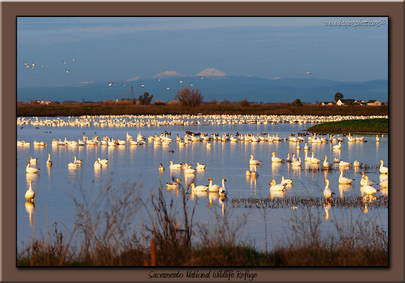 Sacramento National Wildlilfe Refuge Snow Geese