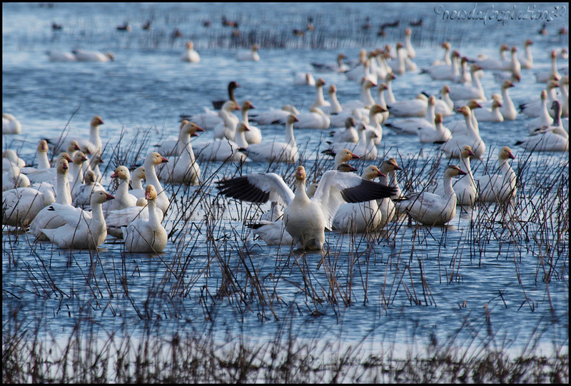 Colusa National Wildlilfe Refuge Snow Geese