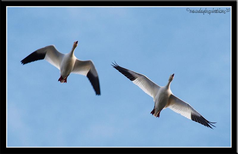 Colusa National Wildlilfe Refuge Snow Geese