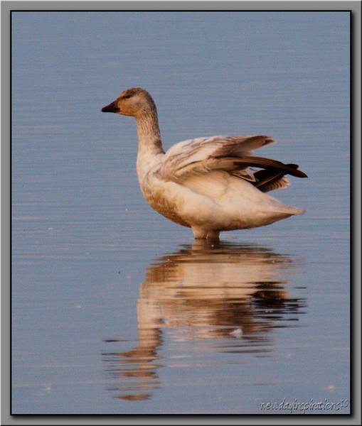 Snow Goose Sacramento National Wildlife Refuge