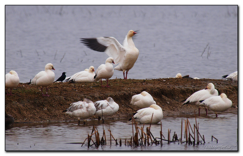 Snow Geese Sacramento National Wildlife Refuge